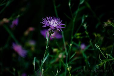 Purple Bachelor Button by Charlief43