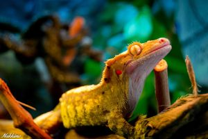 New Caledonian Crested Gecko by nakkimo