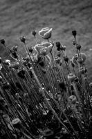 Poppies in monochrome by bingbing51