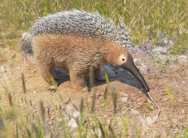 Crested Echidna (Neoglossus spinosa) by AlexSone