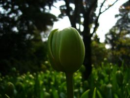 little green tulip by alecarote