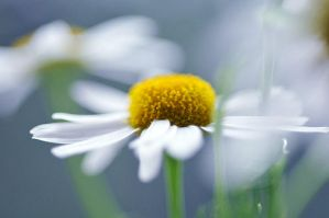 camomile. 02 by AlexEdg