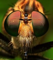 MR.ROBBER FLY II by karman87