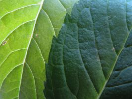 Leaf texture 2 by TCJstock