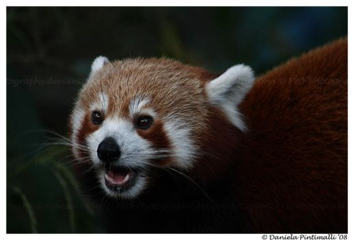 Red Panda Portrait by TVD-Photography