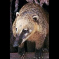 Animals 97  Ring-tailed Coati by cinnabarr