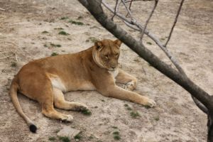 Oie A Lion by WhoeMelk13