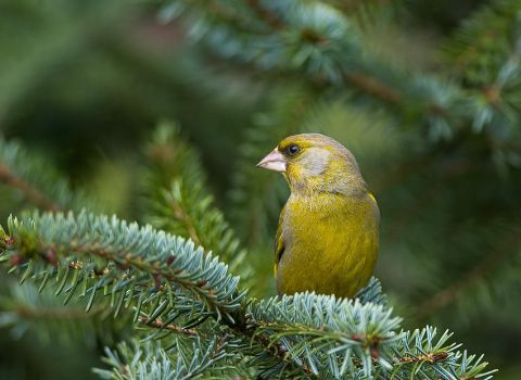 green finch made a mess by MartinAmm