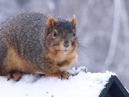 Squirrel at my feeder by anonymoose1