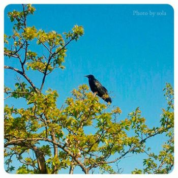 Crow and Blue sky by solalis1226