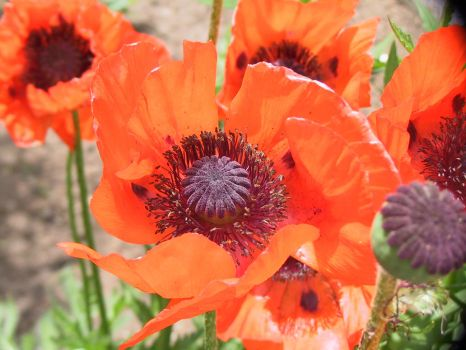 garden_poppy_3 by lolliboy