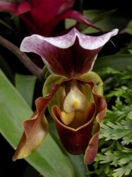 If Goofy were an Orchid by ZombieInn