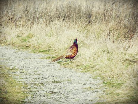 Pheasant. by 19Jazz96