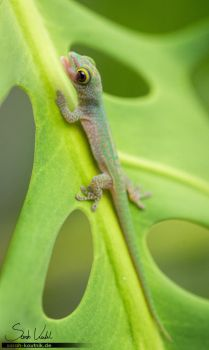 Baby Day Gecko by Pfeffernase