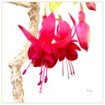 Fuchsia for Life by TeaPhotography