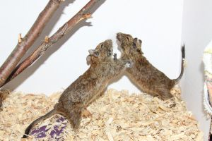 Degu Stock 5 of 10 ~ Males by Lovely-DreamCatcher