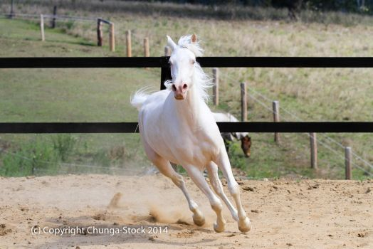 kr arabian canter front cremello by Chunga-Stock