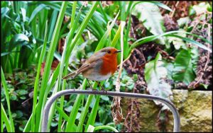 Robin on Watering Can 2 by crystalfalls