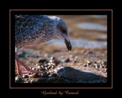 Goeland by caracal