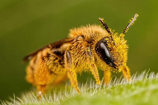 Pollen Covered Pollinator by dalantech