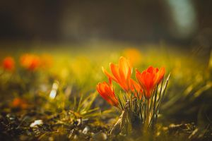 crocus shine by CliffWFotografie