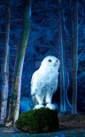 Google the Snowy Owl by Takarti