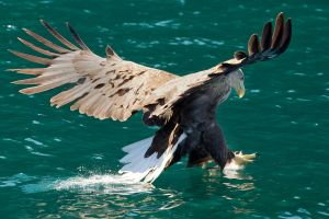 Dive in - White tailed Eagle by Jamie-MacArthur