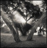 Oak Tree Study 02 by perry