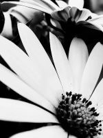 BW Flowers by JumpingEagle