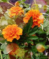 Rainy Marigolds by GUDRUN355