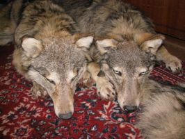 Wolf soft mount for sale by WoroTax