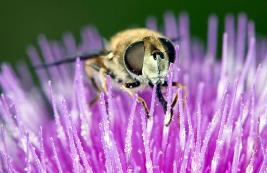 Hover in the thistle by Glenn0o7