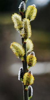 Pussy Willow Catkins by Earth-Hart