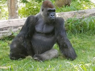Omaha Zoo Gorilla by Trendorman
