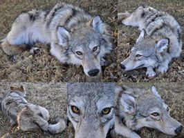 Female Grey Wolf Soft Mount by AlmostAustralian