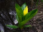 skunk cabbage by Oniroid