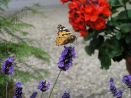 Vanessa Cardui Loves Lavender by Dowlphin