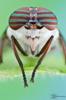 Horse Fly - Hybomitra sp. by ColinHuttonPhoto