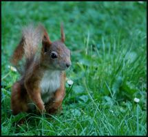 squirrel by morho
