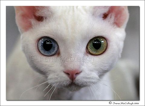 Odd-Eyed Devon Rex by substar