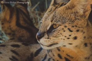 Serval-4670 by Christina-Phillips