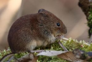 Bank Vole 5 21-3-18 by pell21