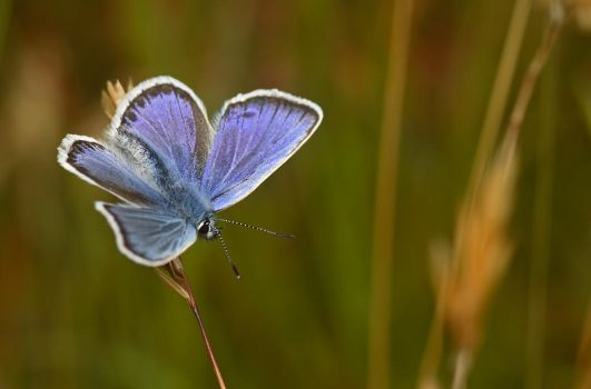 Silver Studded Blue by Alliec