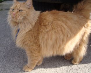 Norwegian Forest Cat by Liburnica-stock