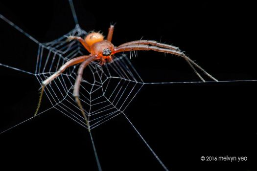 Orb Weaver Spider by melvynyeo