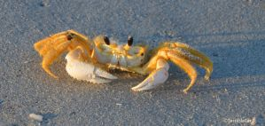 Ghost Crab GQ by TerribleTer