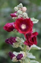 Hollyhock by OfTheDunes