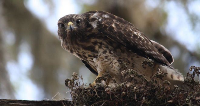 Young Hawk by smilesbysue