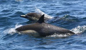 Common Dolphins 0511102 by OrcinusPacifica
