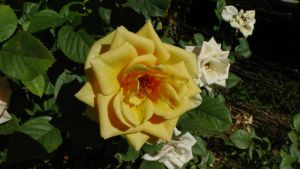 Yellow and White Roses by dragonfire70